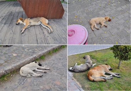 トルコ旅行記 犬